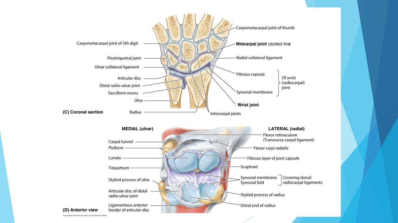 Upper Extremity Forearm Musculature & Vasculature, Cubital Fossa ...