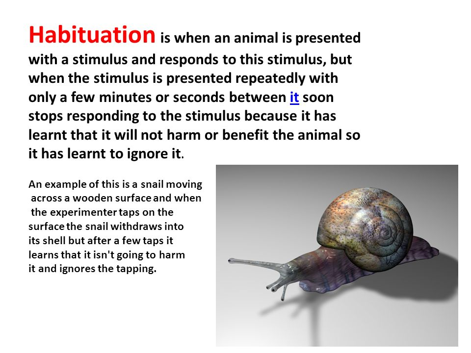 Habituation is when an animal is presented with a stimulus and responds to this stimulus, but when the stimulus is presented repeatedly with only a few minutes or seconds between it soon stops responding to the stimulus because it has learnt that it will not harm or benefit the animal so it has learnt to ignore it.it An example of this is a snail moving across a wooden surface and when the experimenter taps on the surface the snail withdraws into its shell but after a few taps it learns that it isn t going to harm it and ignores the tapping.