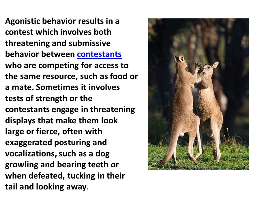 Agonistic behavior results in a contest which involves both threatening and submissive behavior between contestants who are competing for access to the same resource, such as food or a mate.