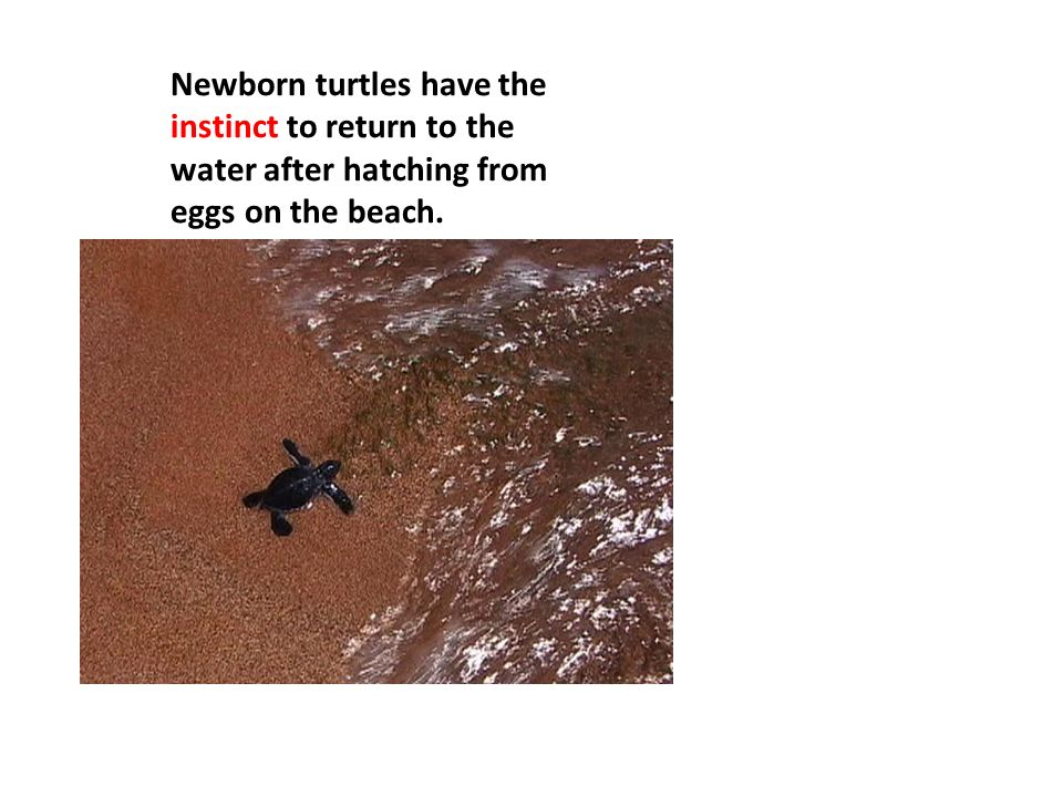 Newborn turtles have the instinct to return to the water after hatching from eggs on the beach.