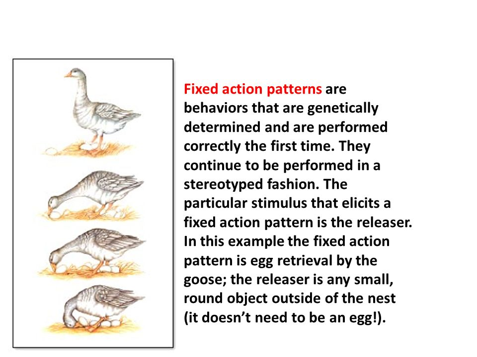 Fixed action patterns are behaviors that are genetically determined and are performed correctly the first time.