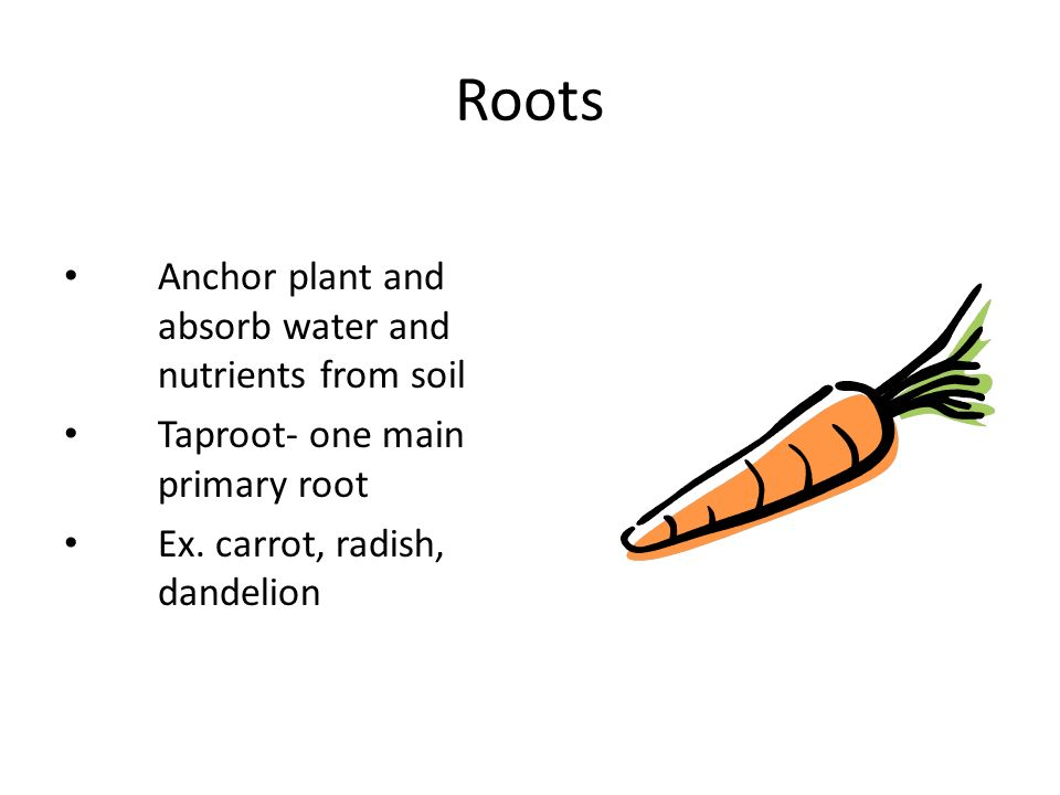 Roots Anchor plant and absorb water and nutrients from soil Taproot- one main primary root Ex.