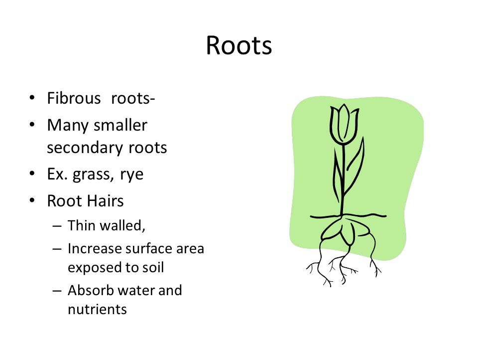 Roots Fibrous roots- Many smaller secondary roots Ex.