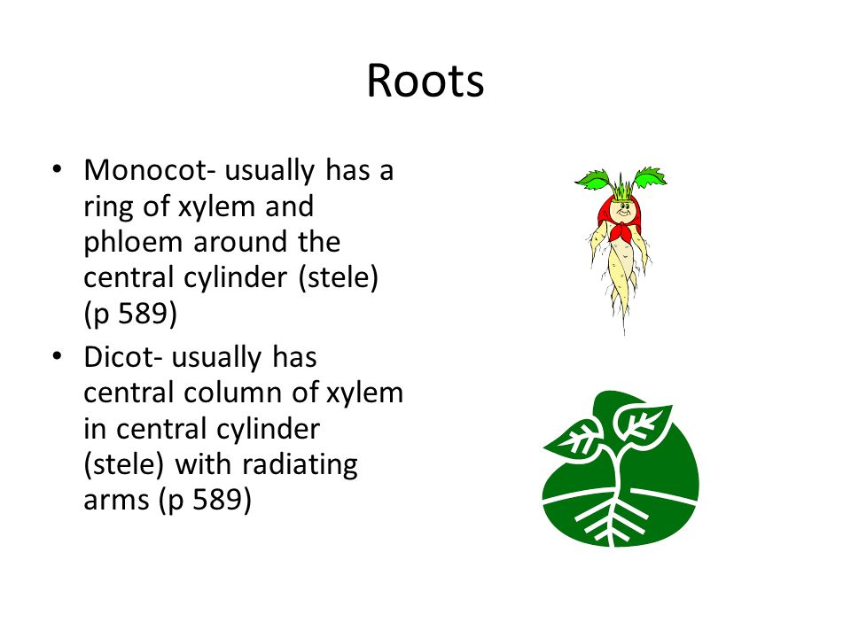Roots Monocot- usually has a ring of xylem and phloem around the central cylinder (stele) (p 589) Dicot- usually has central column of xylem in central cylinder (stele) with radiating arms (p 589)