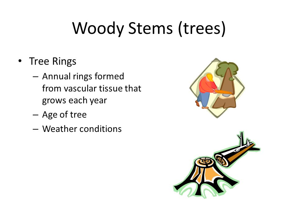 Woody Stems (trees) Tree Rings – Annual rings formed from vascular tissue that grows each year – Age of tree – Weather conditions