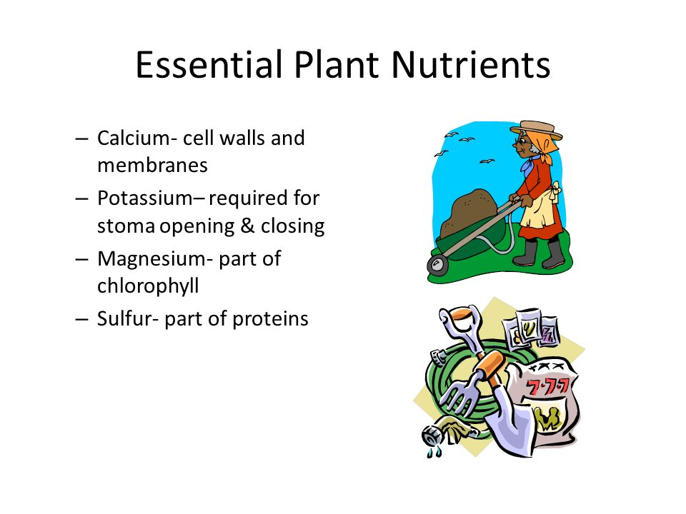 Essential Plant Nutrients – Calcium- cell walls and membranes – Potassium– required for stoma opening & closing – Magnesium- part of chlorophyll – Sulfur- part of proteins