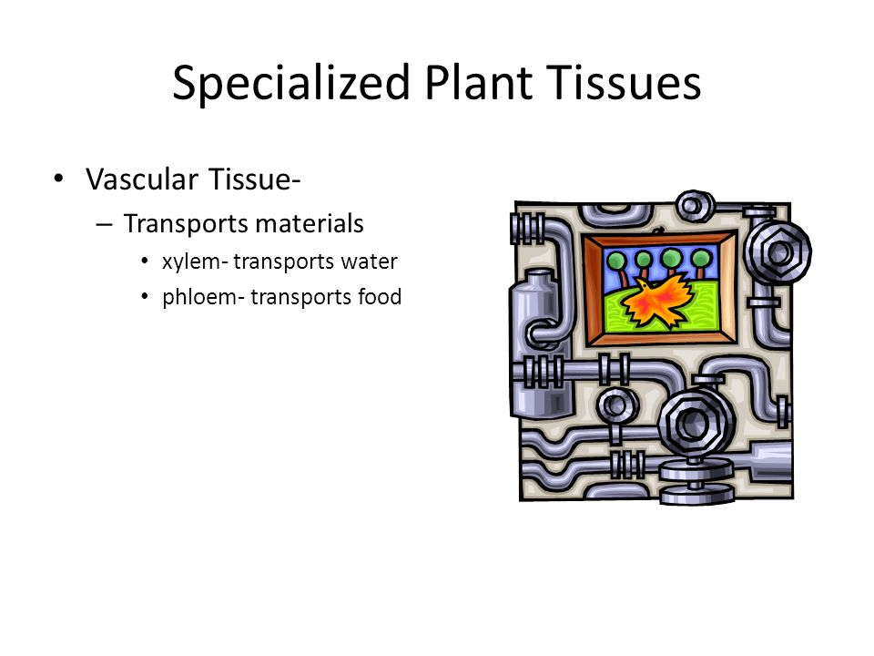 Specialized Plant Tissues Vascular Tissue- – Transports materials xylem- transports water phloem- transports food