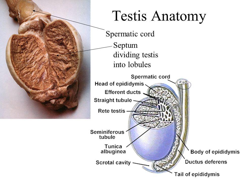 Reproduction Male Pa 481 C Anatomy Physiology Dr Tony Serino