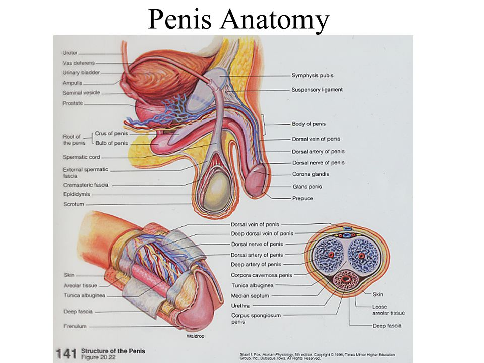 Excepcional Anatomy And Physiology Of The Penis Cresta - Imágenes de ...