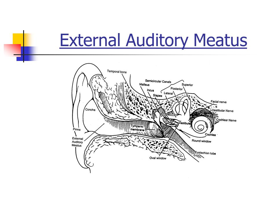 ANATOMY OF THE EAR. Pinna External Auditory Meatus. - ppt download