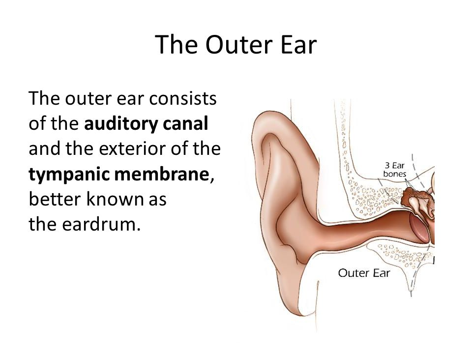 The Ear The Physiology & Function of the Ear. Anatomy of the Ear ...