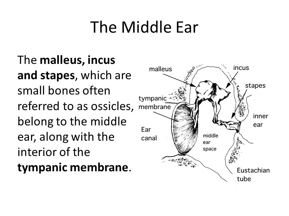 The Ear The Physiology Function Of The Ear Anatomy Of The Ear