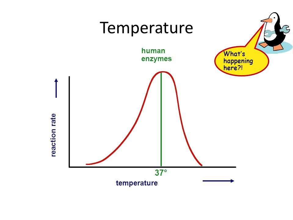 Temperature Effect on rates of enzyme activity – Optimum temperature greatest number of collisions between enzyme & substrate human enzymes – 35°- 40°C (body temp = 37°C) – Raise temperature (boiling) denature protein = unfold = lose shape – Lower temperature T° molecules move slower fewer collisions between enzyme & substrate