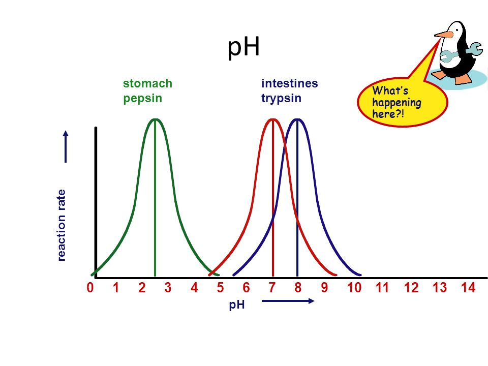 pH Effect on rates of enzyme activity – changes in pH changes protein shape – most human enzymes = pH 6-8 depends on where in body pepsin (stomach) = pH 3 trypsin (small intestines) = pH 8