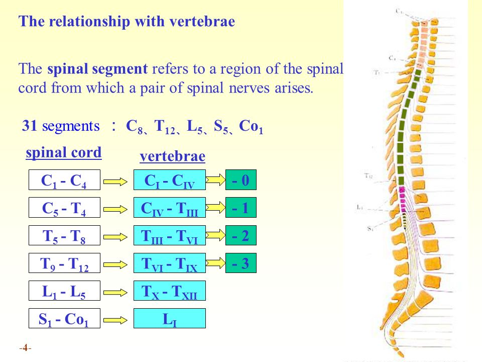 1 Chapter 17 Central Nervous System The Spinal Cord Location And