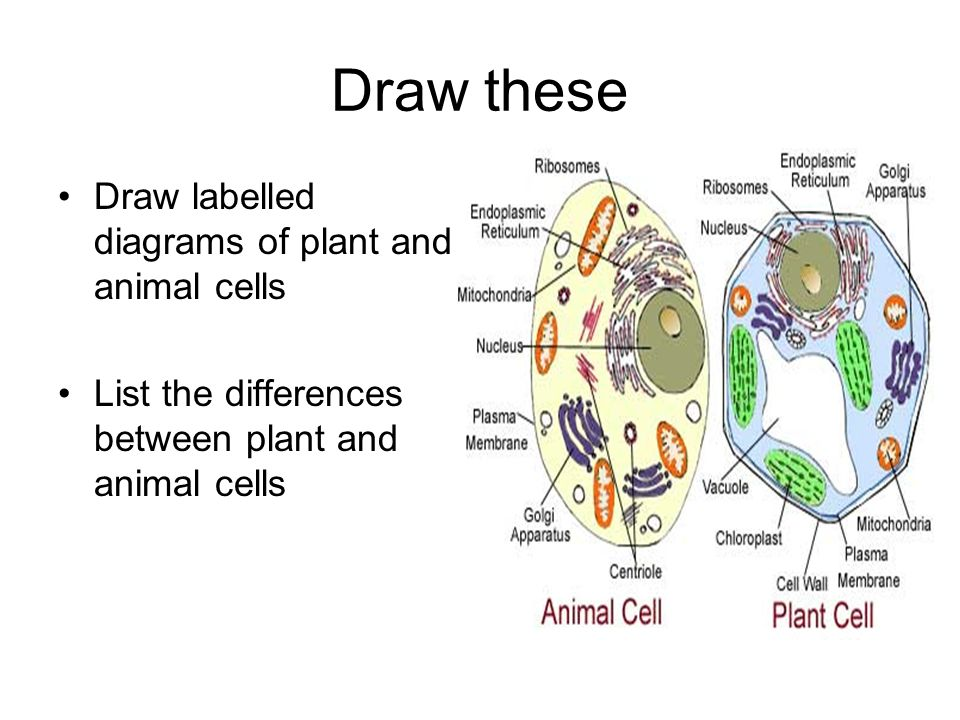 Microscopic world what do they do write the functions of lenses 18 draw these draw labelled diagrams of plant and animal cells list the differences between plant and animal cells ccuart Gallery