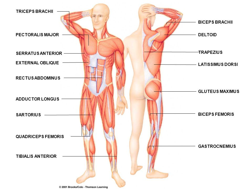 The Muscular System Chapter 6 Skeletal Muscle Bundles Of Striped