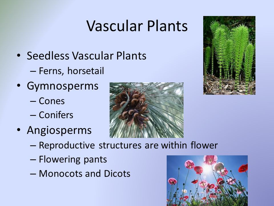 Do seedless vascular plants reproduce asexually
