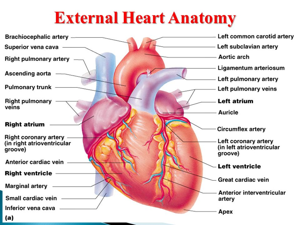 Cardiovascular System Anatomy Practical [PHL 212]. - ppt download