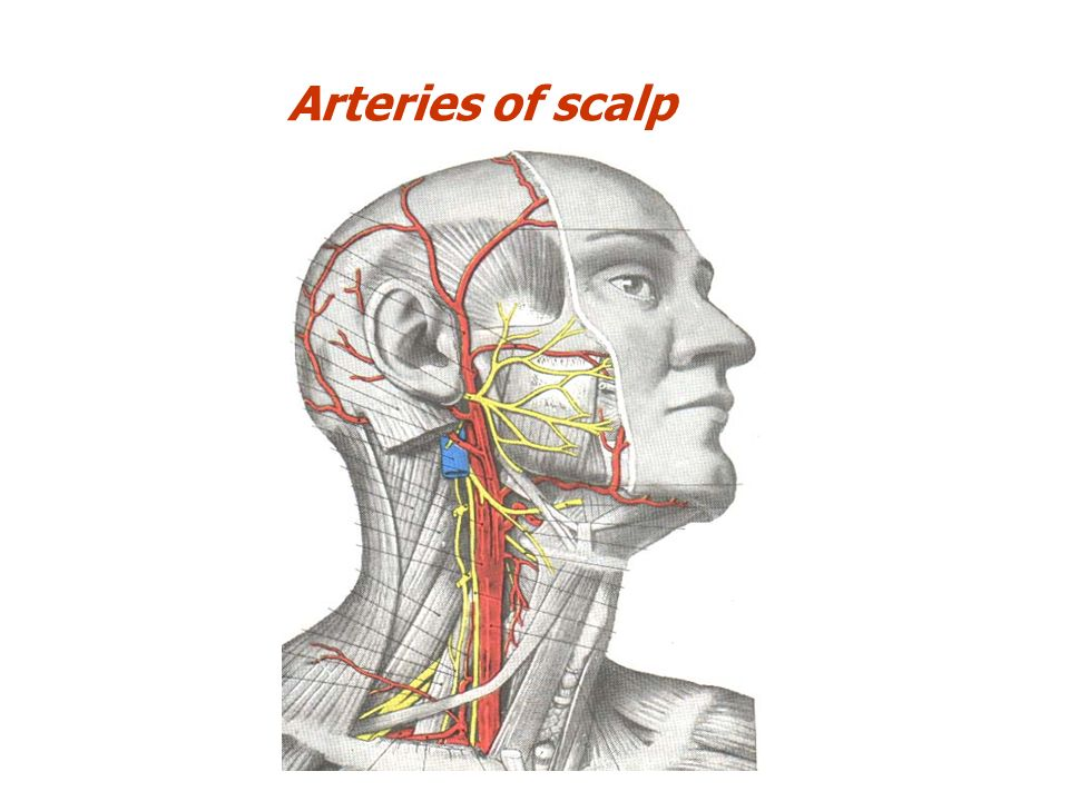 Head and Face Anatomy. The soft tissue that covers the vault of ...