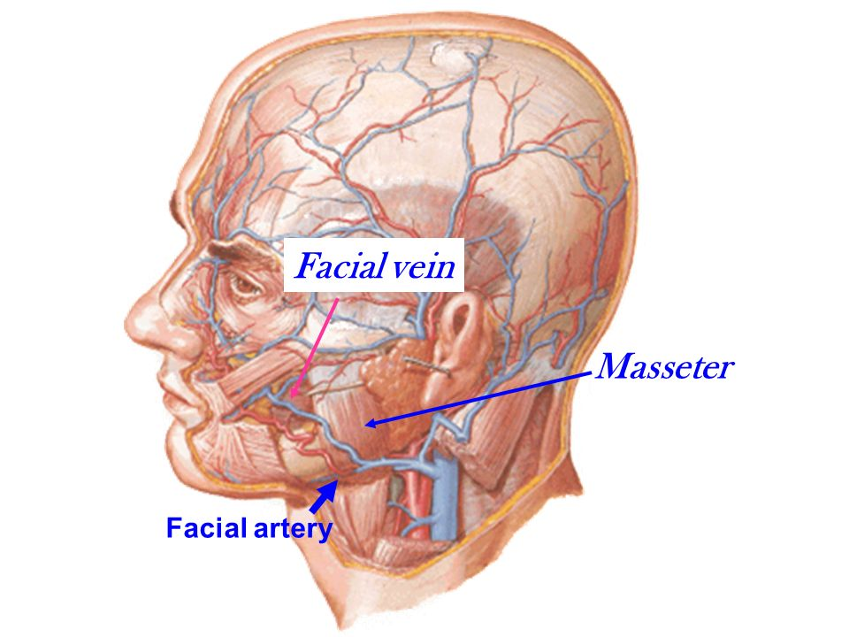 Skin of the face Very vascular,rich in sweat& sebaceous glands ...