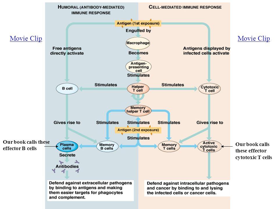Chapter 40 Immune Response Non Specific Vs Specific Response 1n