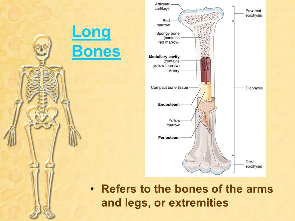 Skeletal System Hst I The Skeletal System Is Made Up Of Organs