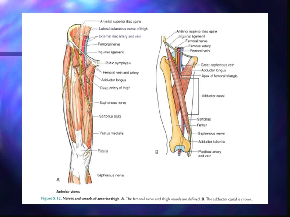 Anatomical Spaces Femoral Triangle Content Adductor Canal