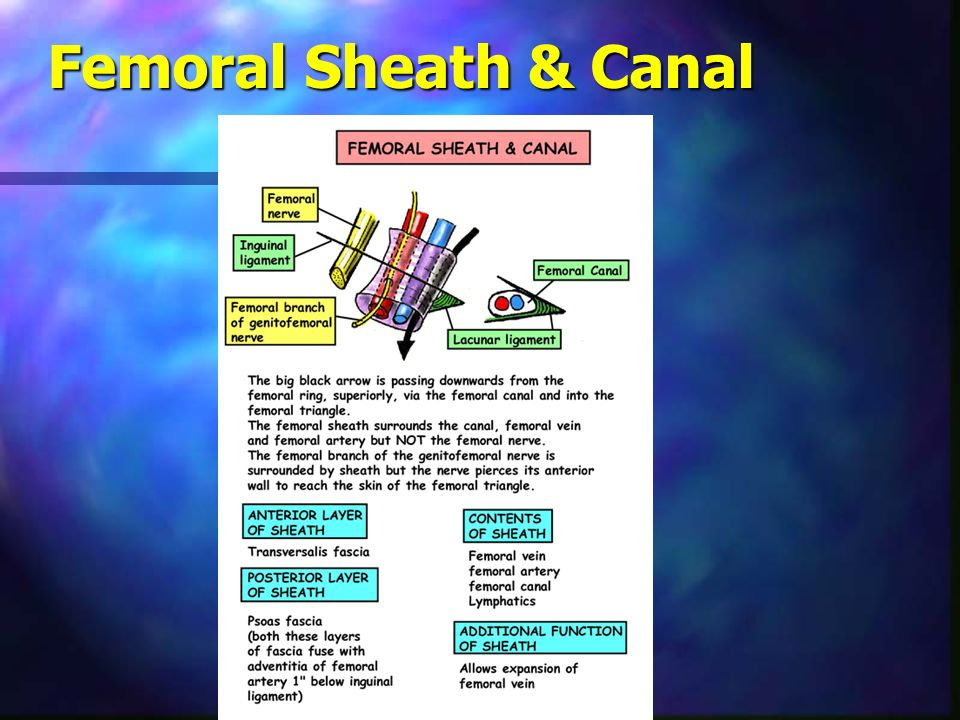 Anatomical Spaces Femoral Triangle & Content Adductor Canal ...