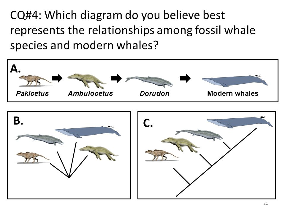 A Whale Of A Tale The Evidence For The Evolution Of Whales By