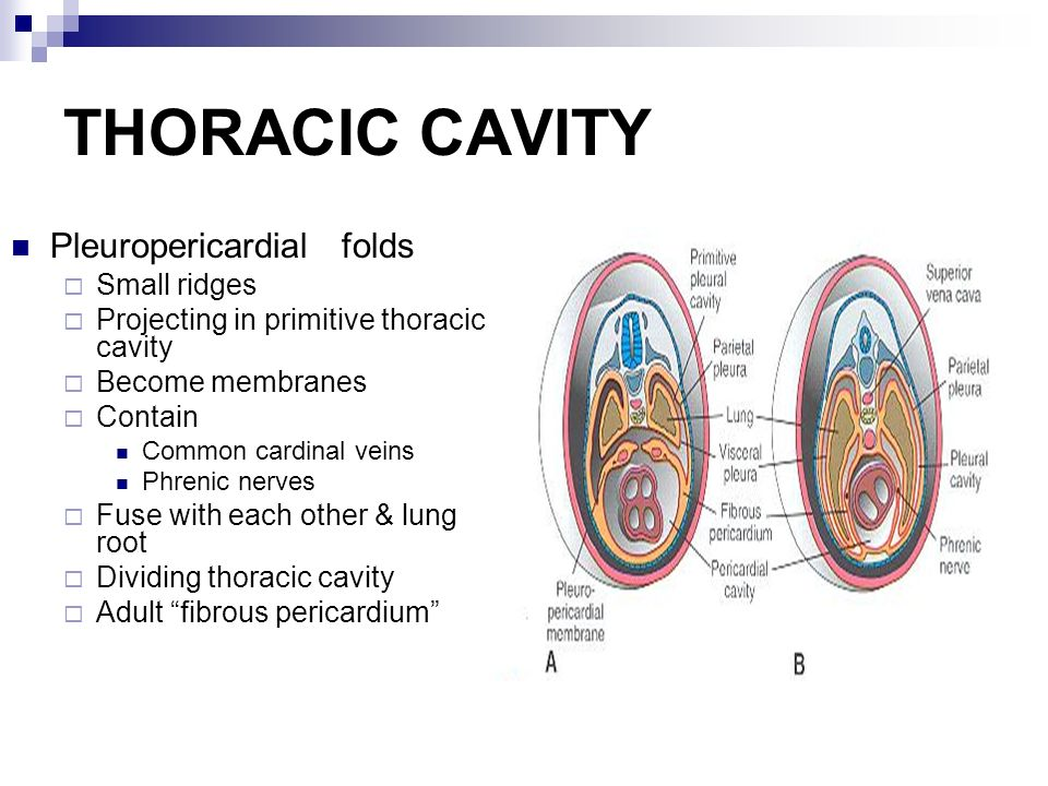 Body Cavities Slidelearn Team Formation Of Body Cavity End Of 3 Rd
