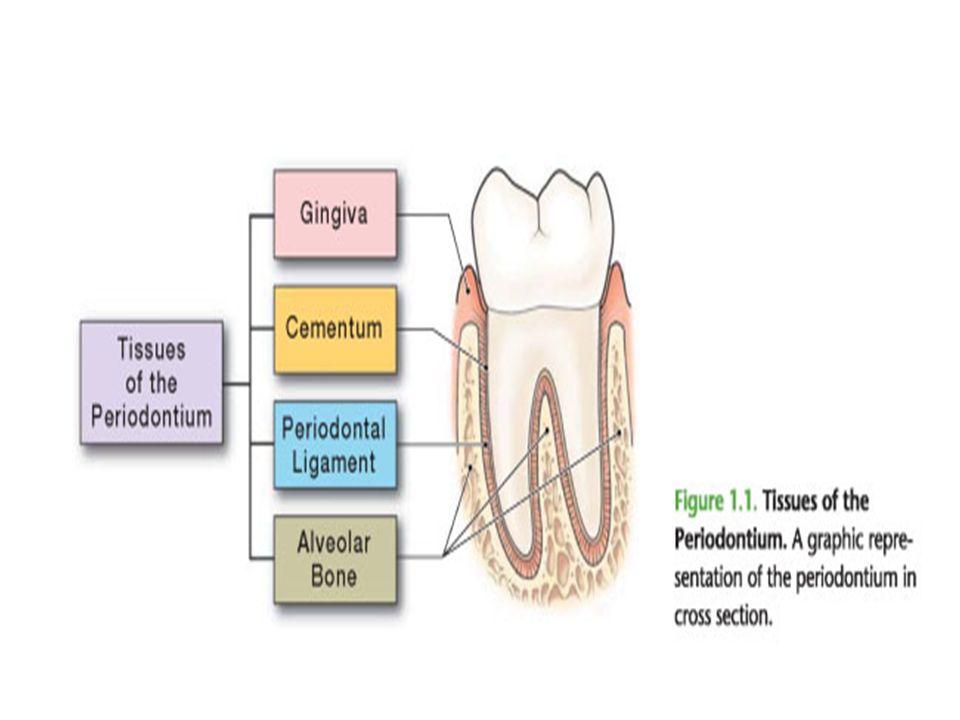 Periodontium (Anatomy of periodontium) - ppt video online download