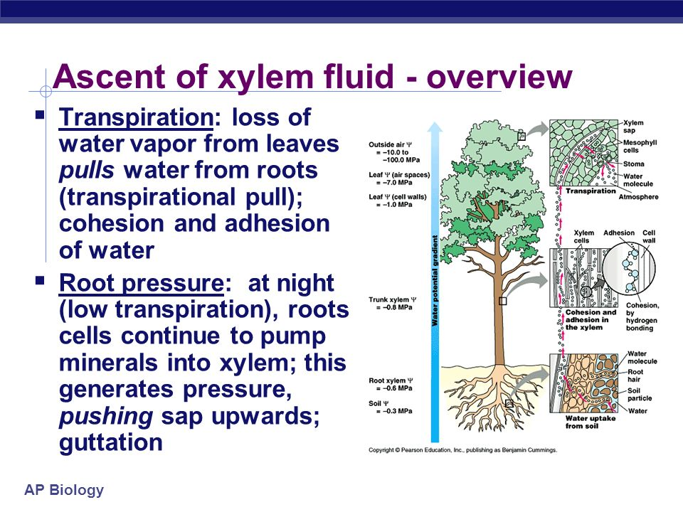 explain the mechanism of water movement through vascular plants during transpiration