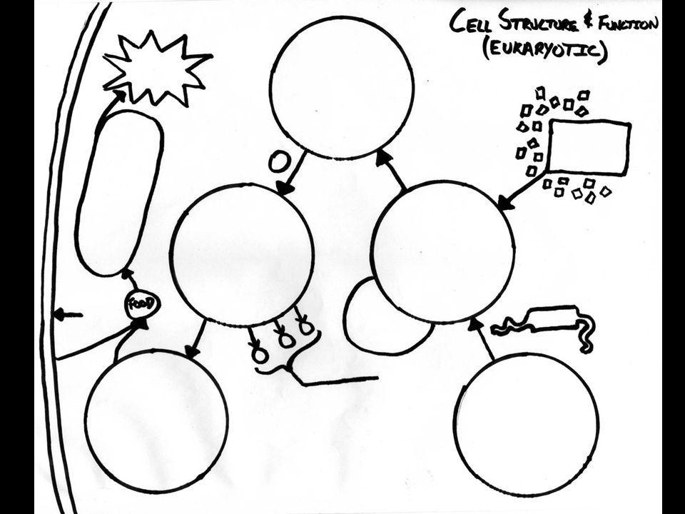 Cell Nucleolu Diagram