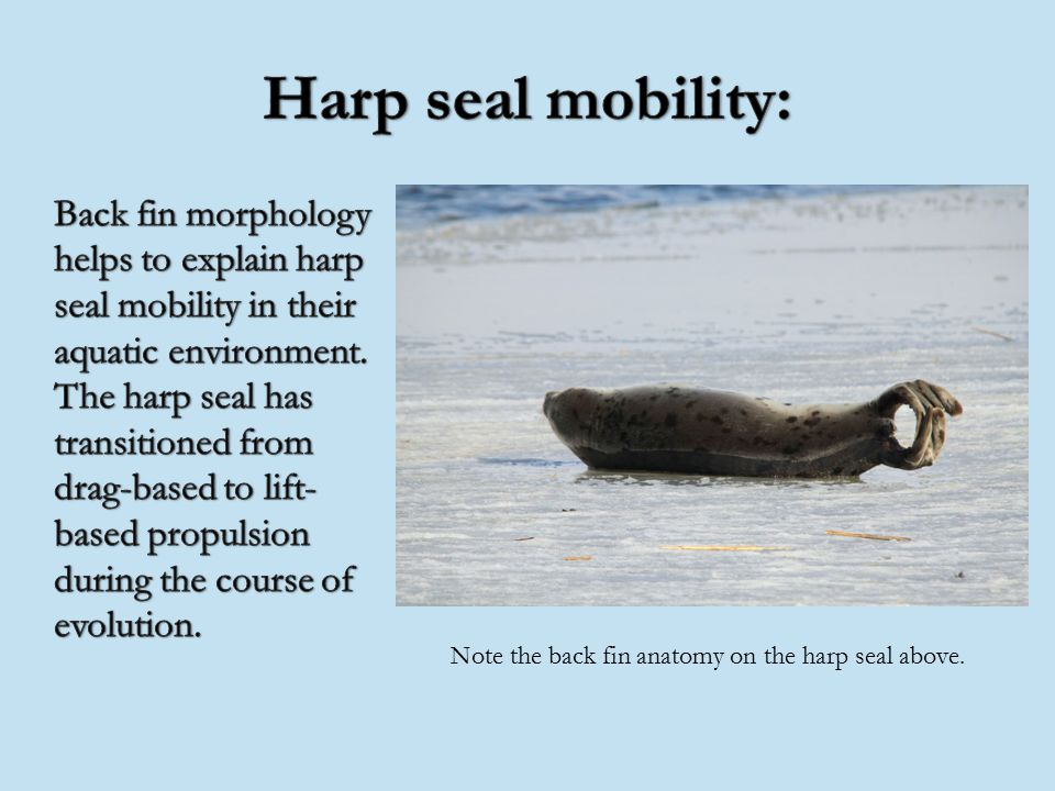 The harp seal\'s lineage: – Phylum: Chordata – Class: Mammalia ...