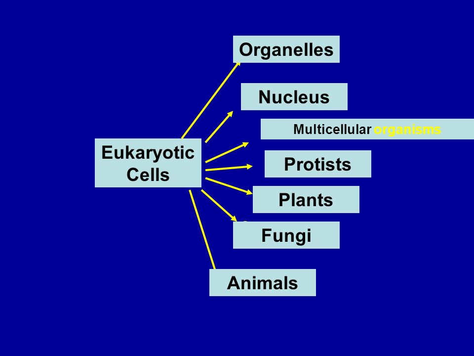 Eukaryotic Cells Organelles Nucleus Multicellular organisms Fungi Plants Animals Protists
