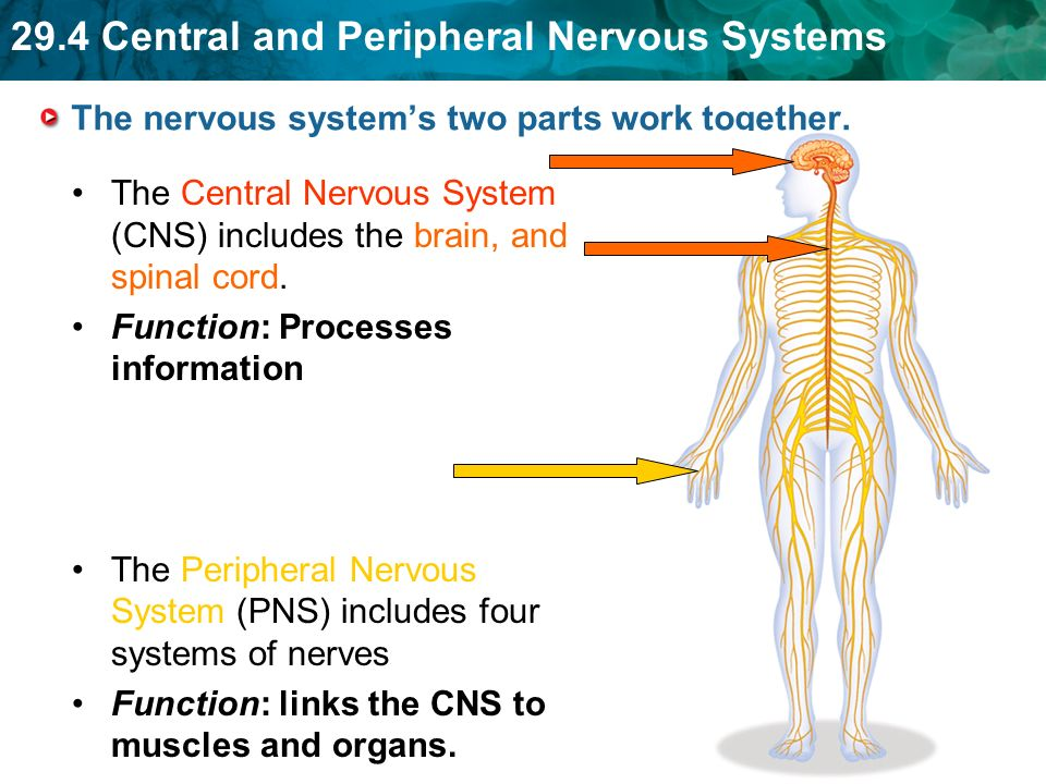 Peripheral Nervous System Pictures Image collections - human ...