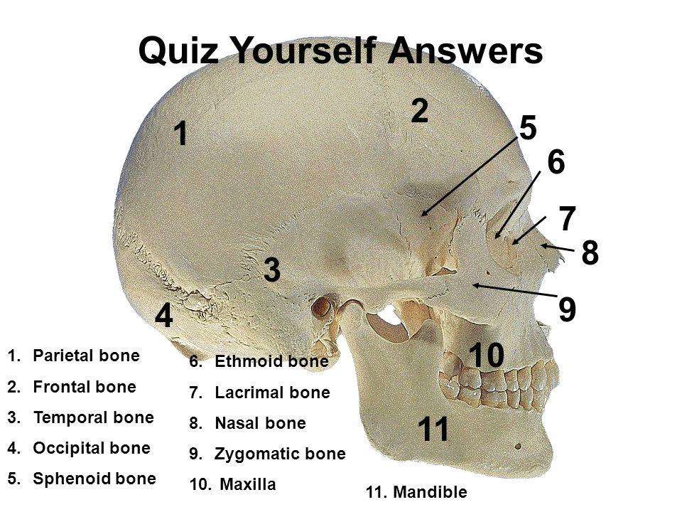 Mandible Bone Study Guide Today Manual Guide Trends Sample