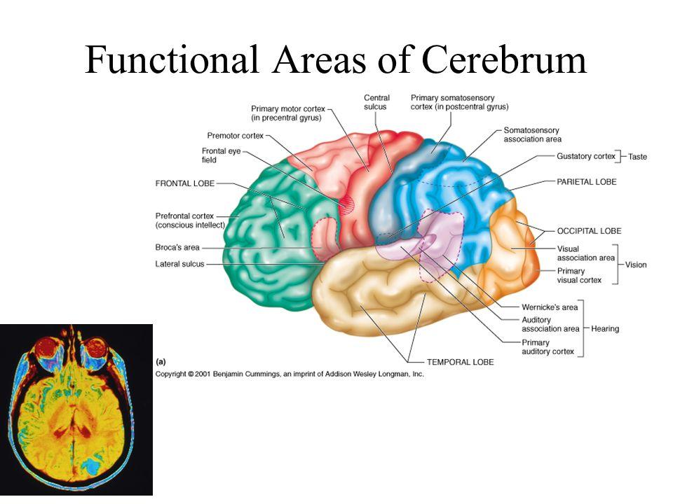 Cranial Fossa: Brain and Spinal Cord PA 544 Tony Serino, Ph.D ...