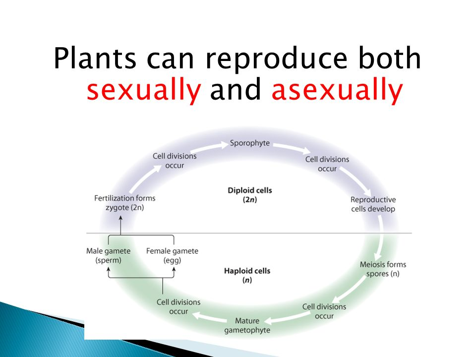 Plants that can reproduce sexually and asexually