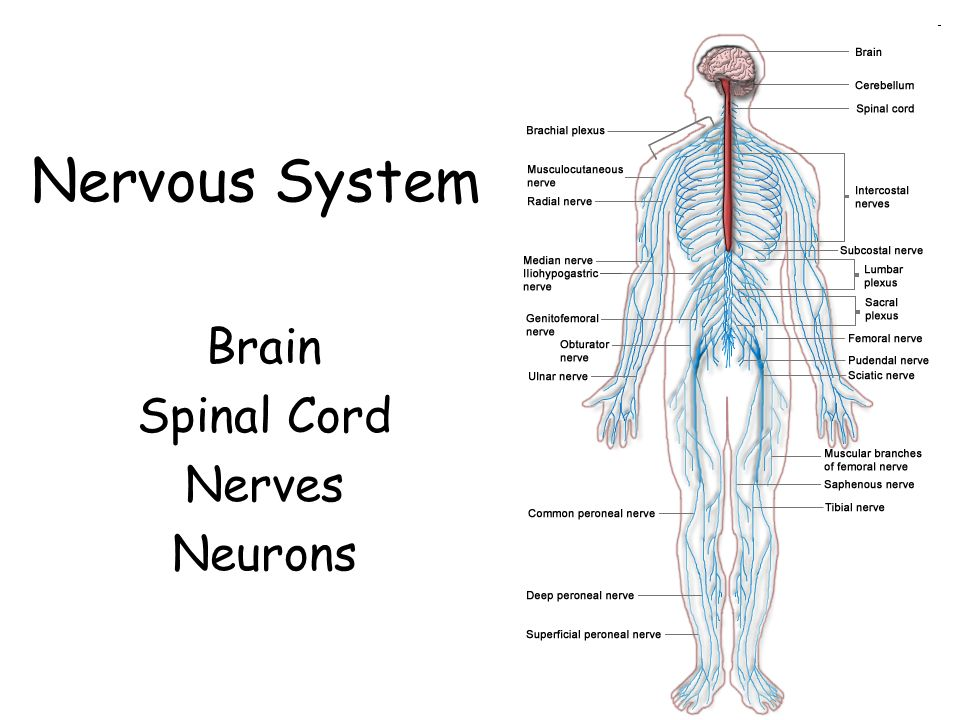 Brain Neurons And Nerves Spinal Cord Diagram Electrical Work