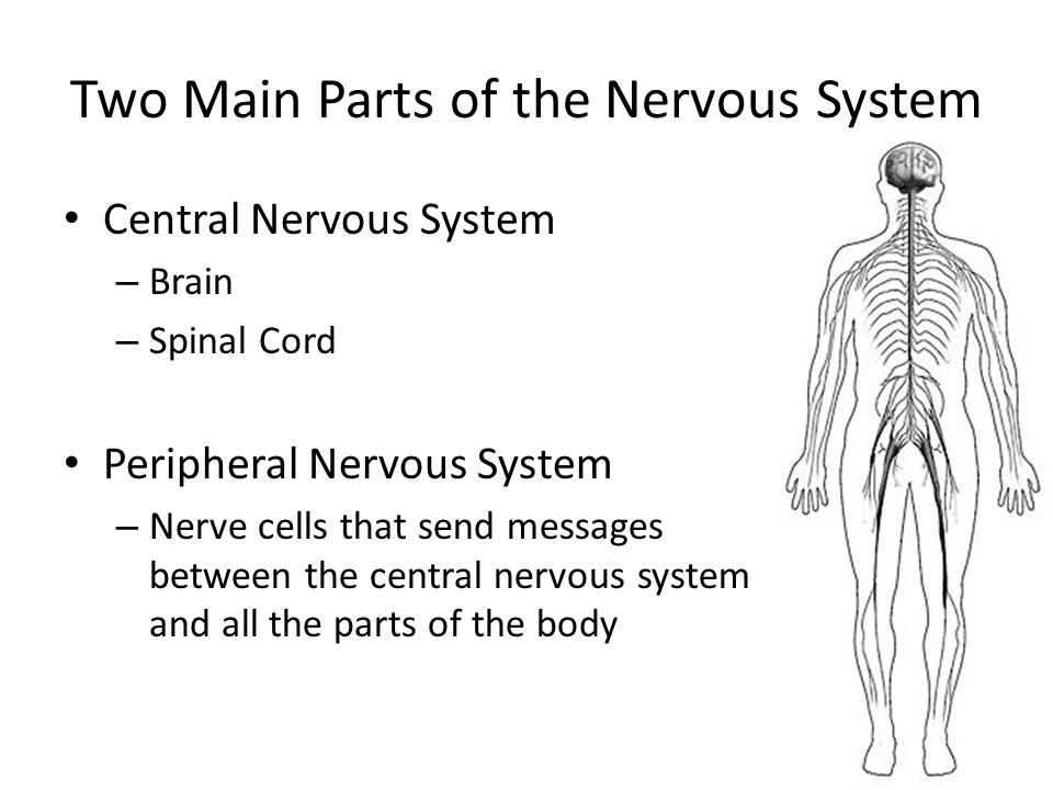 The Nervous System Our Nervous System Is Involved In Thinking