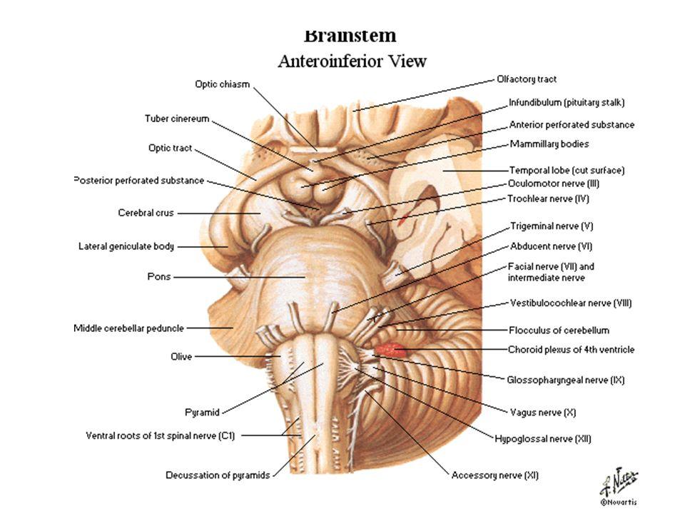 Brain Stem. Brain stem: consists of medulla oblongata, pons, and ...