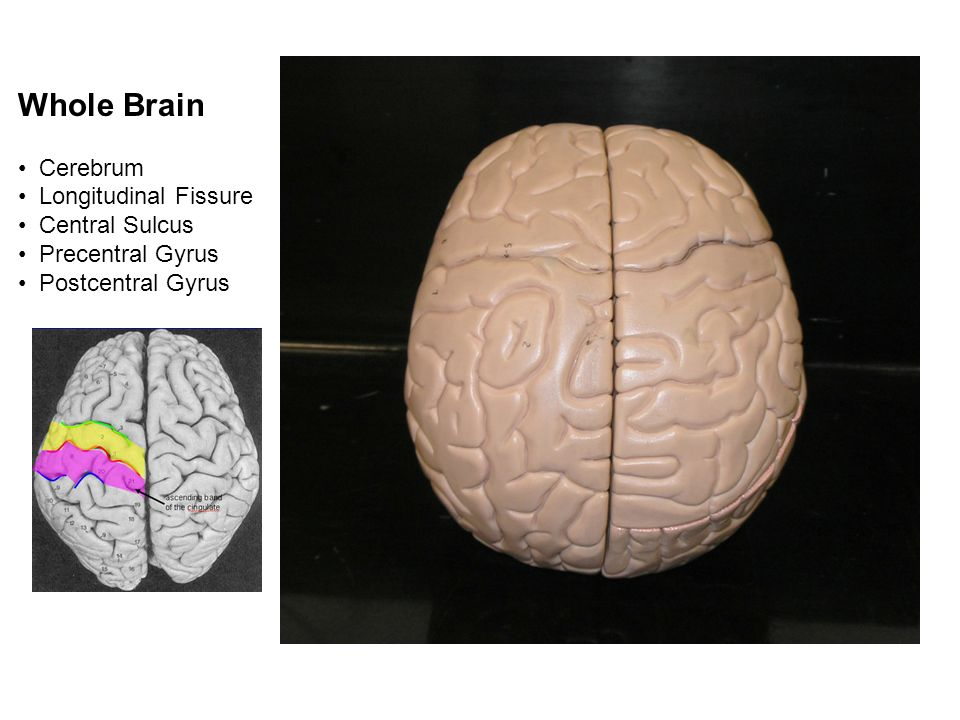 Gross Anatomy Of The Brain And Cranial Nerves Lab Exercise Ppt Download