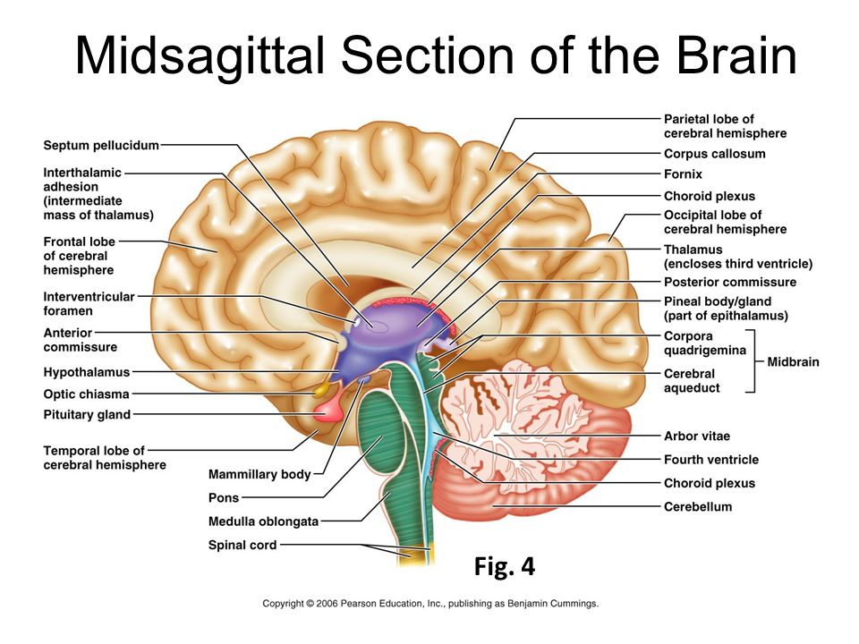Gross Anatomy of the Brain and Cranial Nerves Lab Exercise