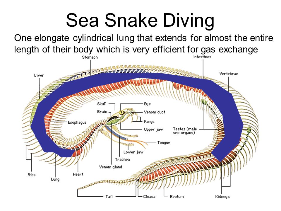 Diagram Of The Sea Snake - Basic Guide Wiring Diagram •