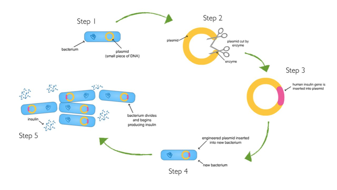 Cloning And Genetic Engineering Ppt Download Diagram 11 Advantages Can Be Used To Make Proteins From Other Organisms On A Large Scale Produce Medicines