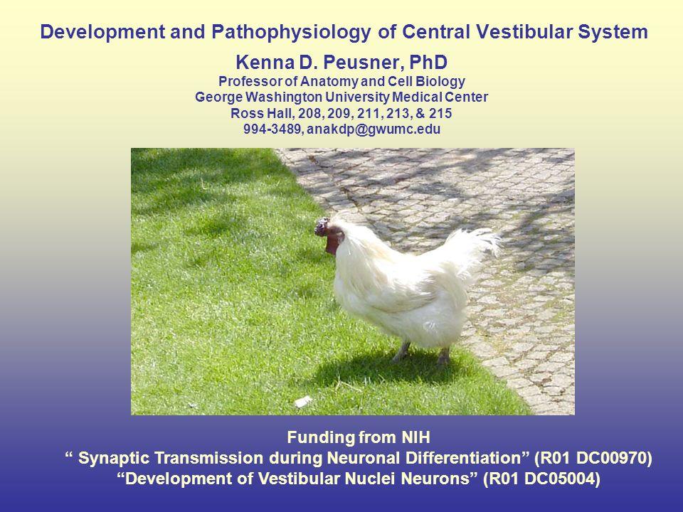 Development and Pathophysiology of Central Vestibular System Kenna D ...