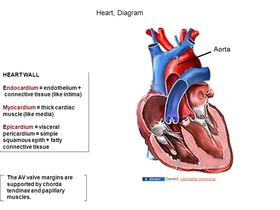 Author a kent christensen phd 2009 license unless otherwise 37 heart wall endocardium ccuart Choice Image