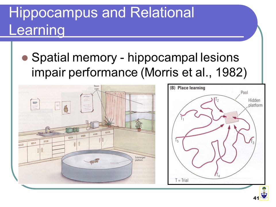 41 Hippocampus and Relational Learning Spatial memory - hippocampal lesions impair performance (Morris et al., 1982)